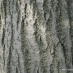tilia-euchlora-07.jpg