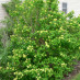 viburnum-roseum-03.jpg