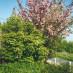 viburnum-roseum-06.jpg