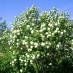 viburnum-roseum-07.jpg