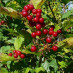 viburnum-roseum-19.jpg