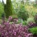 weigela-purpurea-01.jpg