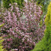 weigela-purpurea-03.jpg