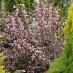 weigela-purpurea-03.jpg