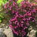 weigela-purpurea-09.jpg