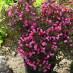 weigela-purpurea-09.jpg