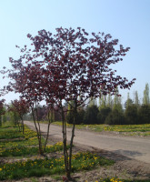leshina_big_atropurpurea_1