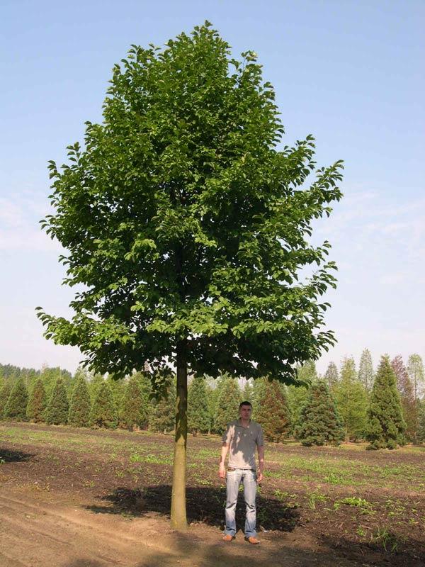 armeniaca-sibirica-01.jpg