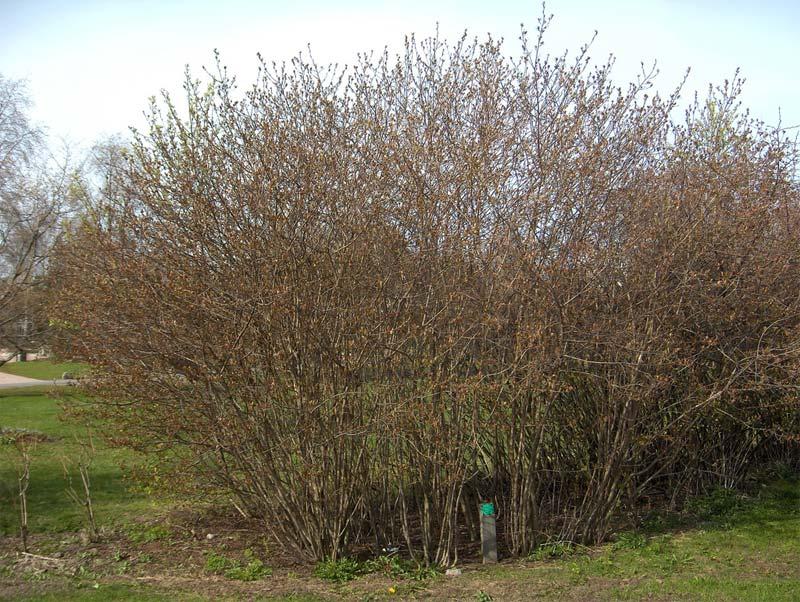 aronia-melanocarpa-09.jpg