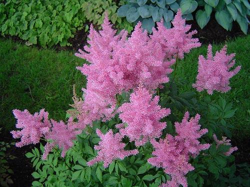 astilbe-arendsii-gloria-purpurea-04.jpg