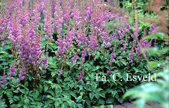 astilbe-chinensis-pumila-05.jpg