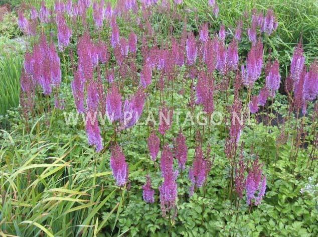 astilbe-chinensis-purpurkerze-02.jpg