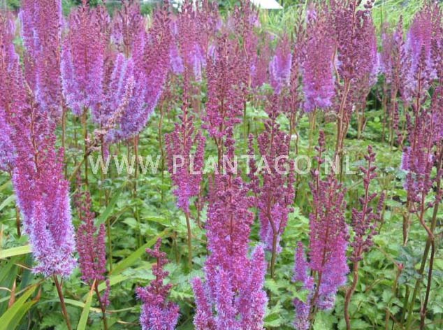 astilbe-chinensis-purpurkerze-03.jpg
