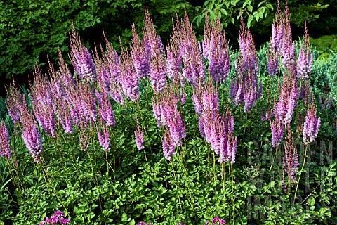 astilbe-chinensis-purpurkerze-05.jpg