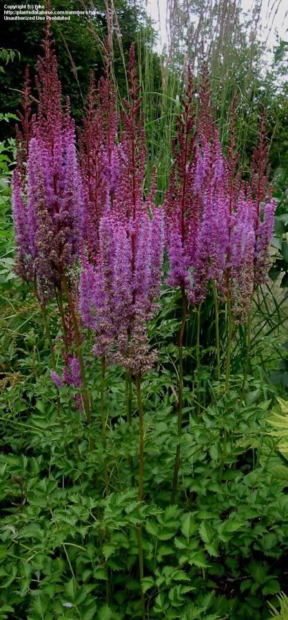 astilbe-chinensis-purpurkerze-06.jpg
