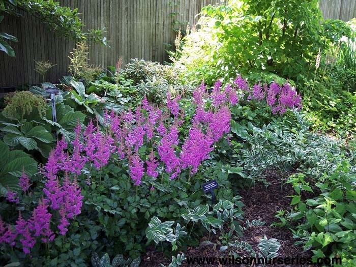 astilbe-chinensis-visions-in-red-05.jpg