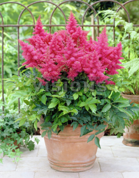 astilbe-hybrida-drum-and-bass-02.jpg