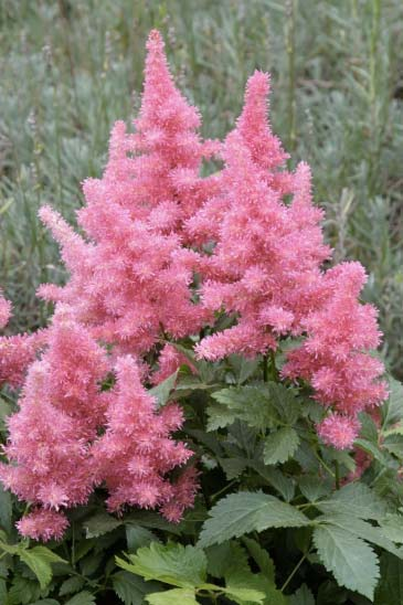 astilbe-hybrida-drum-and-bass-04.jpg