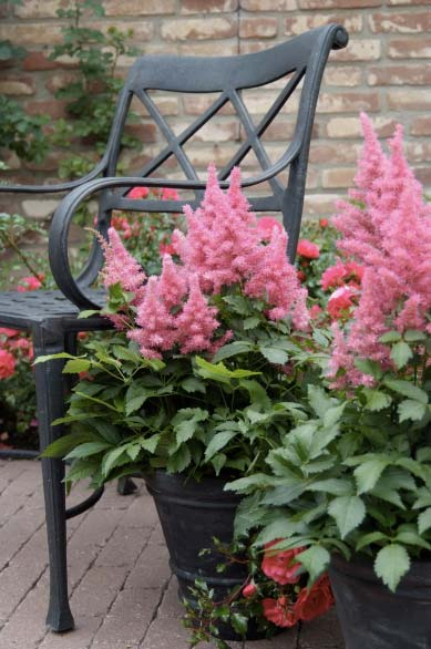 astilbe-hybrida-drum-and-bass-05.jpg