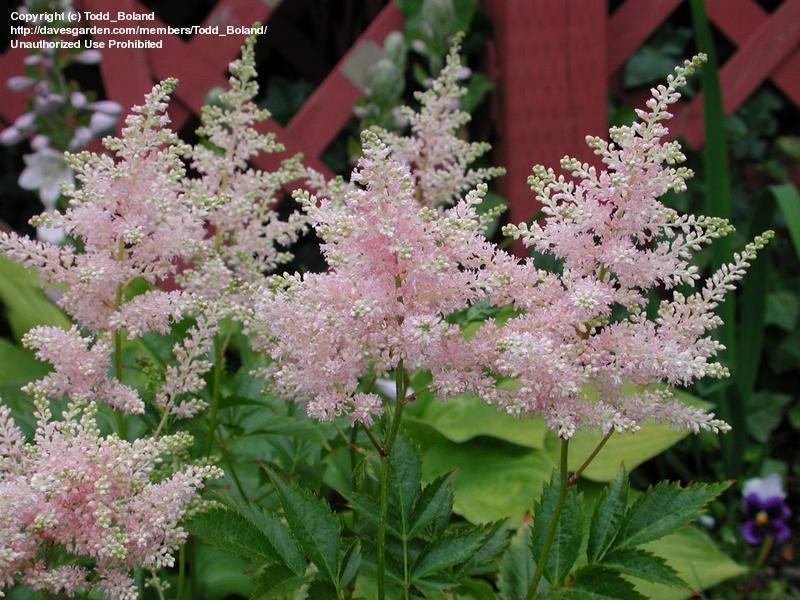 astilbe-japonica-peach-blossom-02.jpg