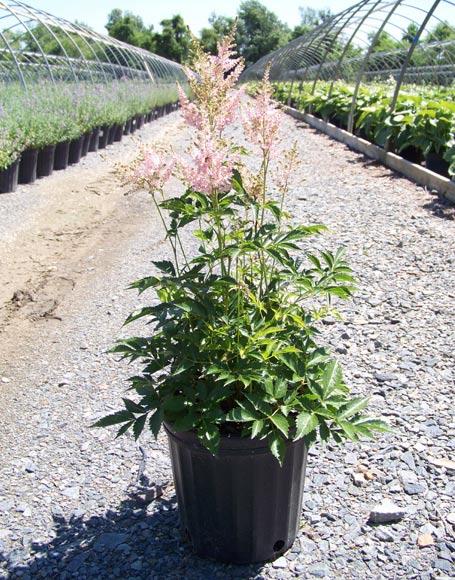 astilbe-japonica-peach-blossom-03.jpg