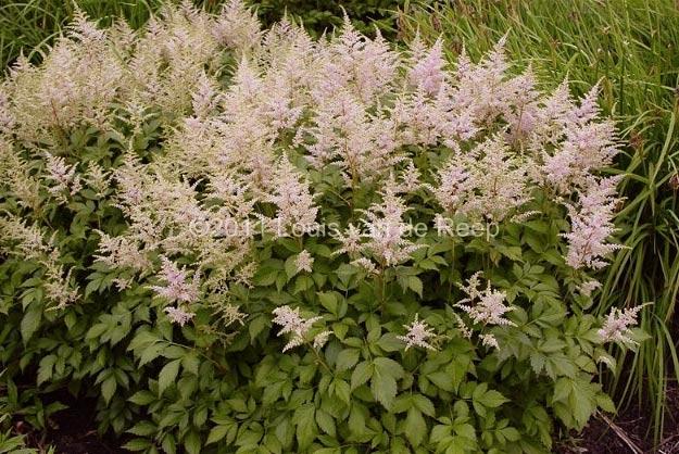 astilbe-japonica-peach-blossom-05.jpg