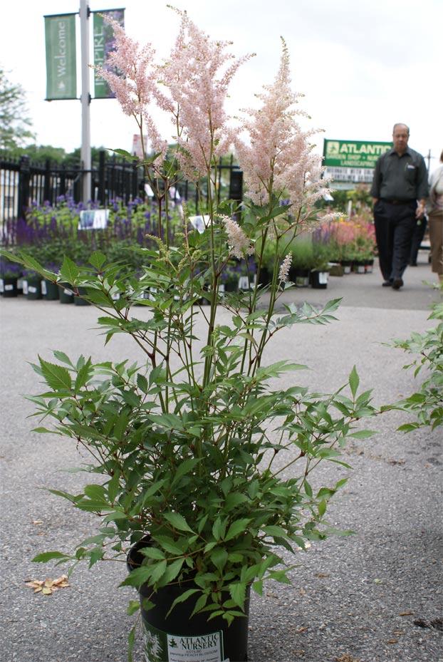 astilbe-japonica-peach-blossom-06.jpg