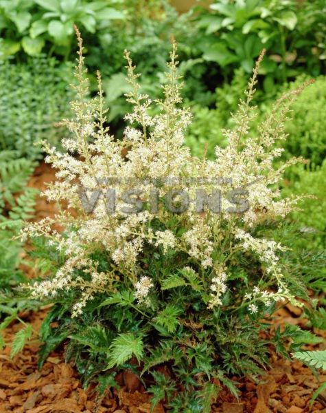 astilbe-simplicifolia-william-buchanan-02.jpg