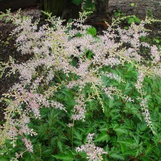 astilbe-simplicifolia-william-buchanan-05.jpg