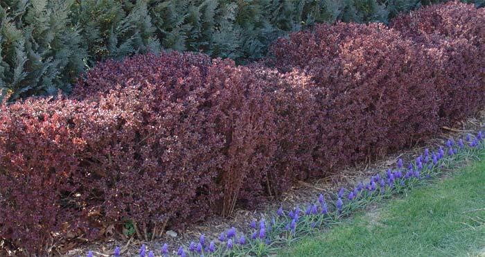berberis-thunbergii-atropurpurea-nana-02.jpg