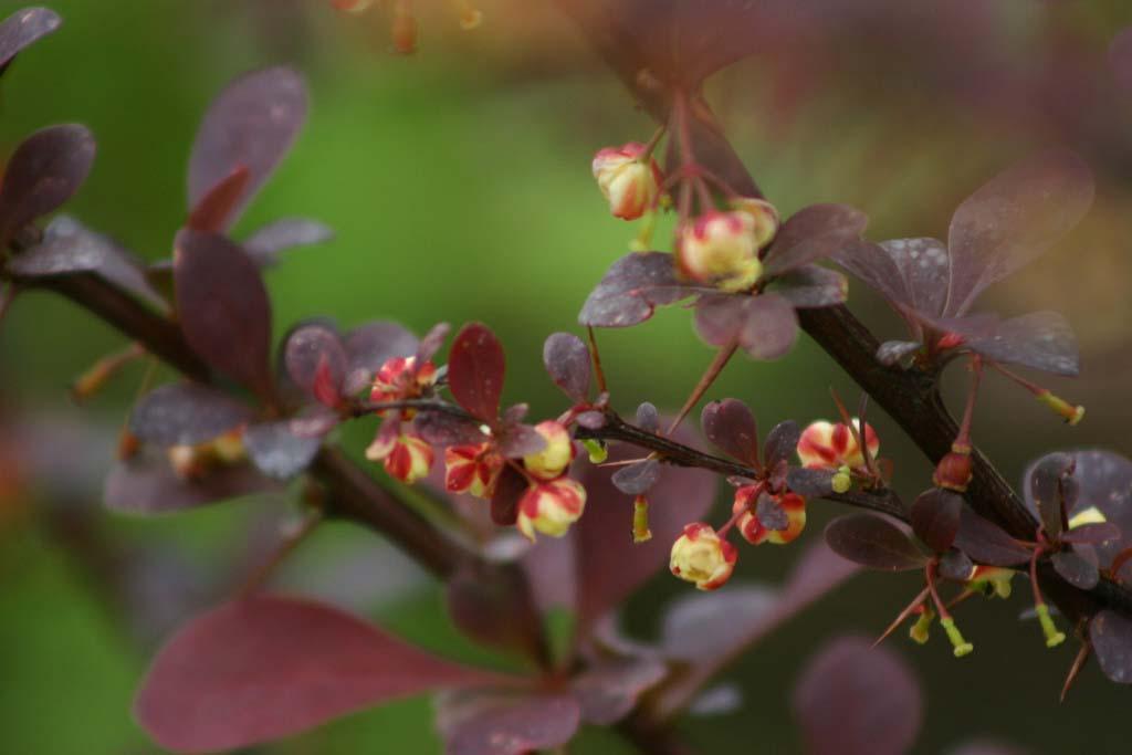 berberis-thunbergii-atropurpurea-nana-04.jpg