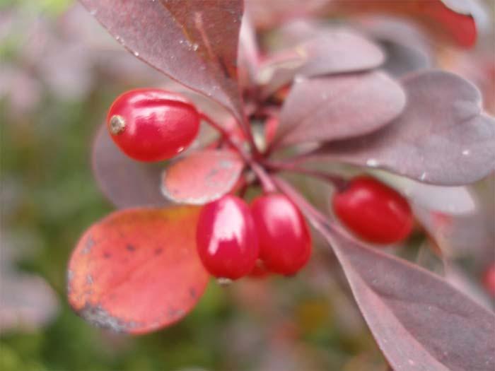 berberis-thunbergii-atropurpurea-nana-05.jpg