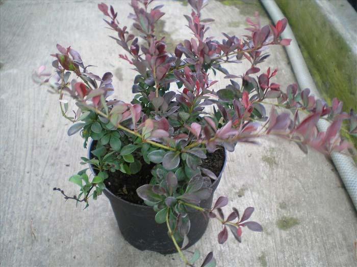 berberis-thunbergii-atropurpurea-nana-06.jpg