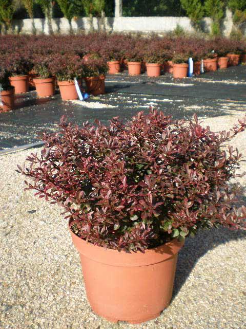 berberis-thunbergii-atropurpurea-nana-08.jpg