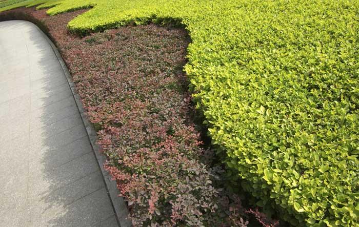 berberis-thunbergii-atropurpurea-nana-09.jpg