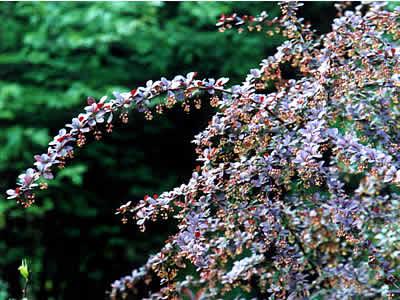 berberis-thunbergii-atropurpurea-02.jpg