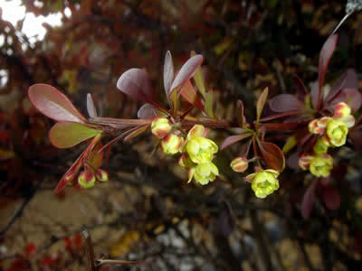 berberis-thunbergii-atropurpurea-04.jpg