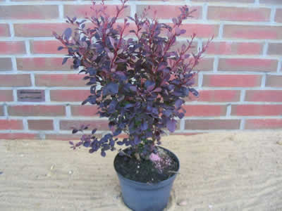 berberis-thunbergii-atropurpurea-06.jpg