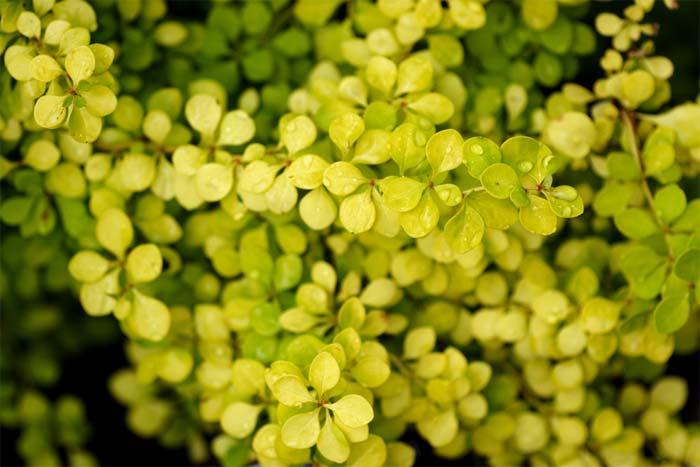 berberis-thunbergii-aurea-03.jpg
