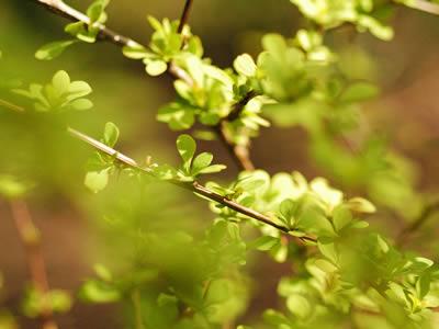 berberis-thunbergii-green-carpet-02.jpg