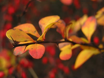 berberis-thunbergii-green-carpet-04.jpg