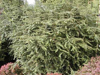 berberis-thunbergii-green-ornament-01.jpg