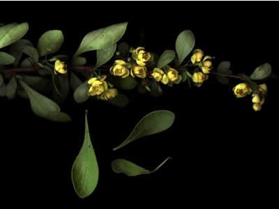 berberis-thunbergii-green-ornament-02.jpg