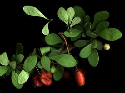 berberis-thunbergii-green-ornament-03.jpg