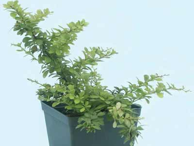 berberis-thunbergii-green-ornament-06.jpg