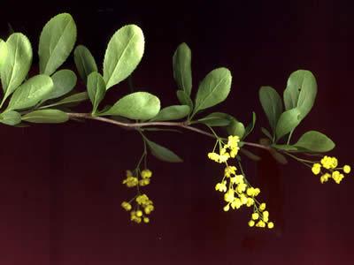 berberis-vulgaris-02.jpg