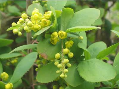 berberis-vulgaris-03.jpg