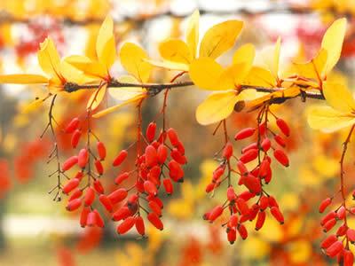 berberis-vulgaris-05.jpg