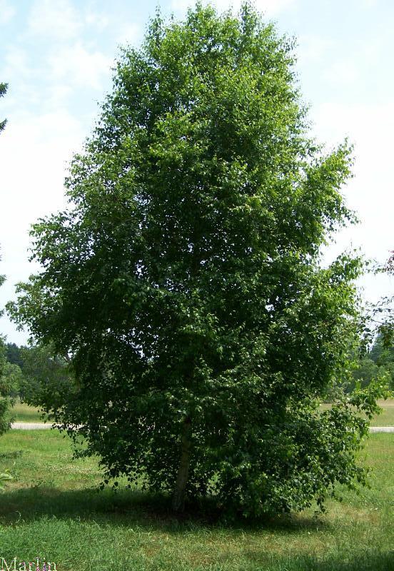 betula-pendula-03.jpg