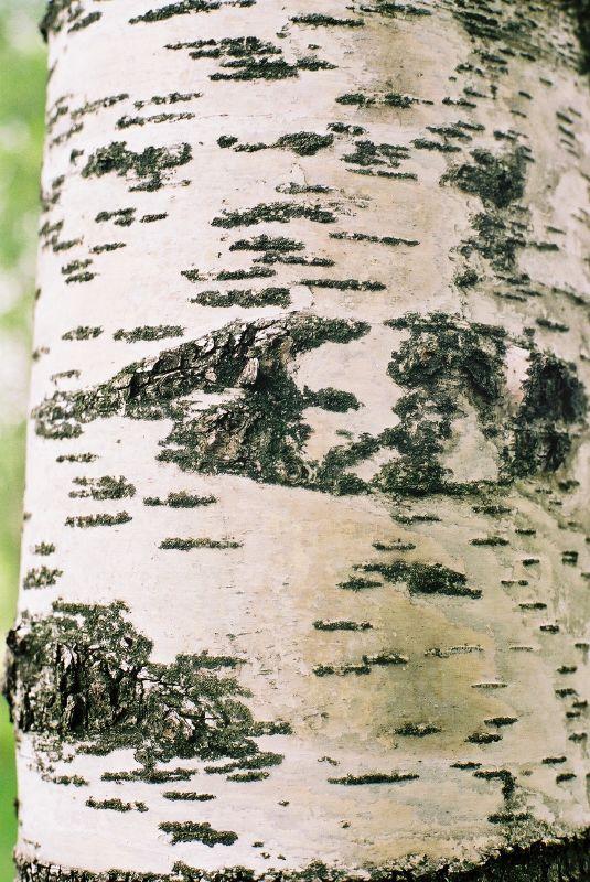 betula-pendula-06.jpg